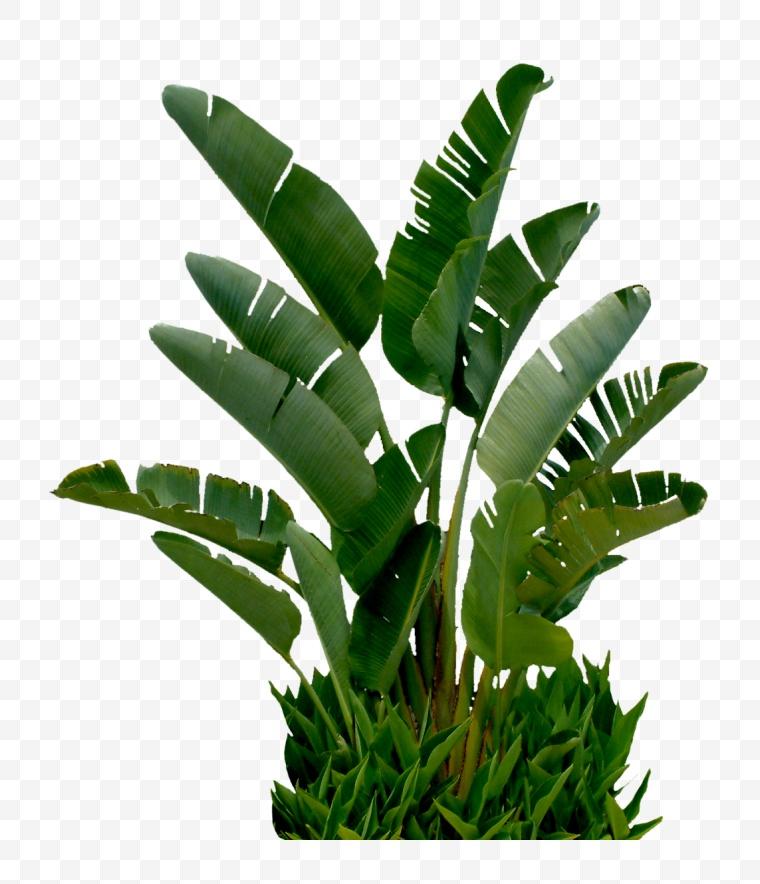 树 绿树 自然 芭蕉 芭蕉树
