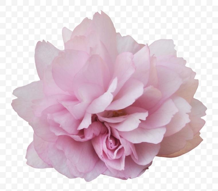花 花朵 鲜花 粉色花朵 花卉
