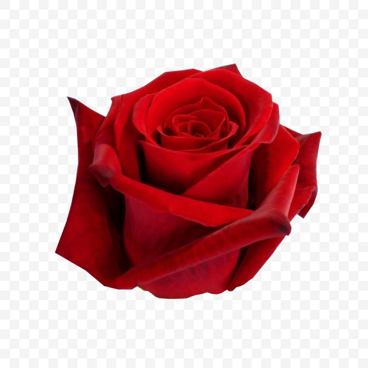 花 花朵 红色花朵 玫瑰 玫瑰花 红玫瑰 鲜花