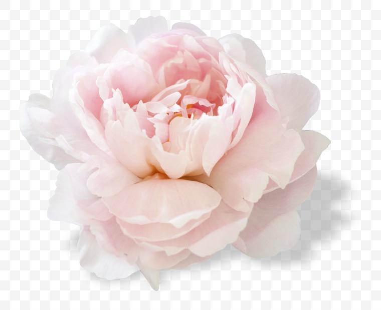 花 花朵 粉色花朵 唯美 牡丹 牡丹花 鲜花